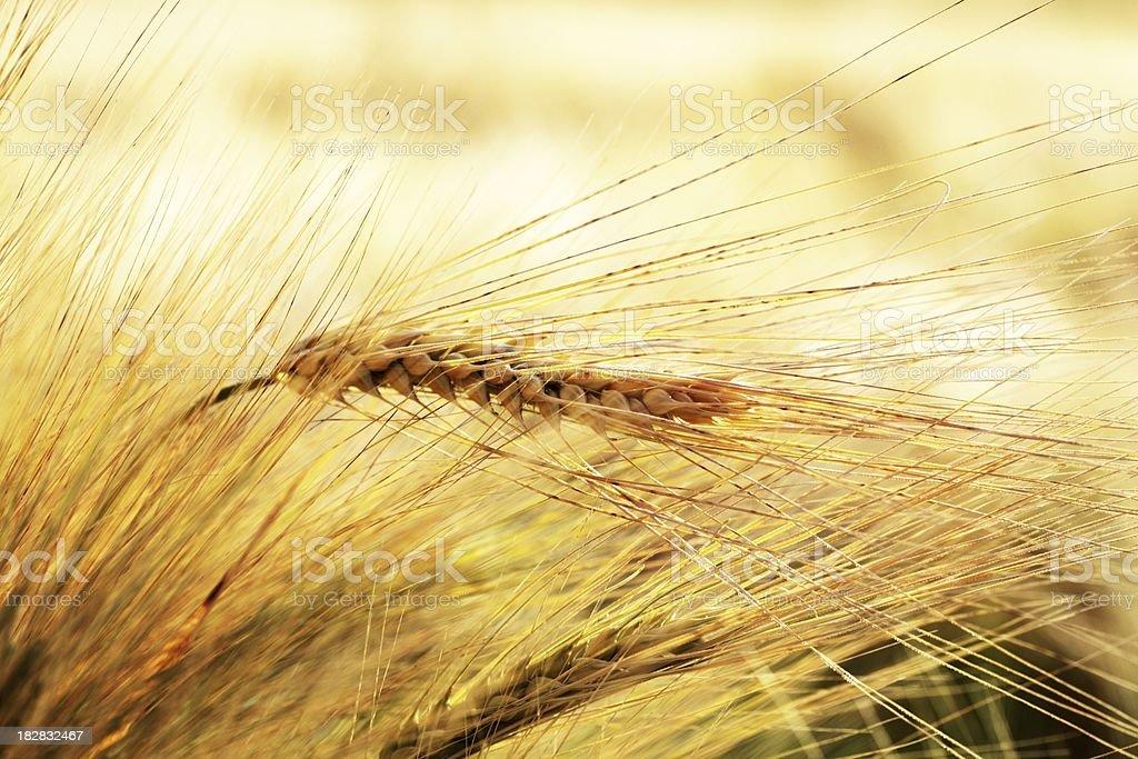 close up of golden grain macro royalty-free stock photo