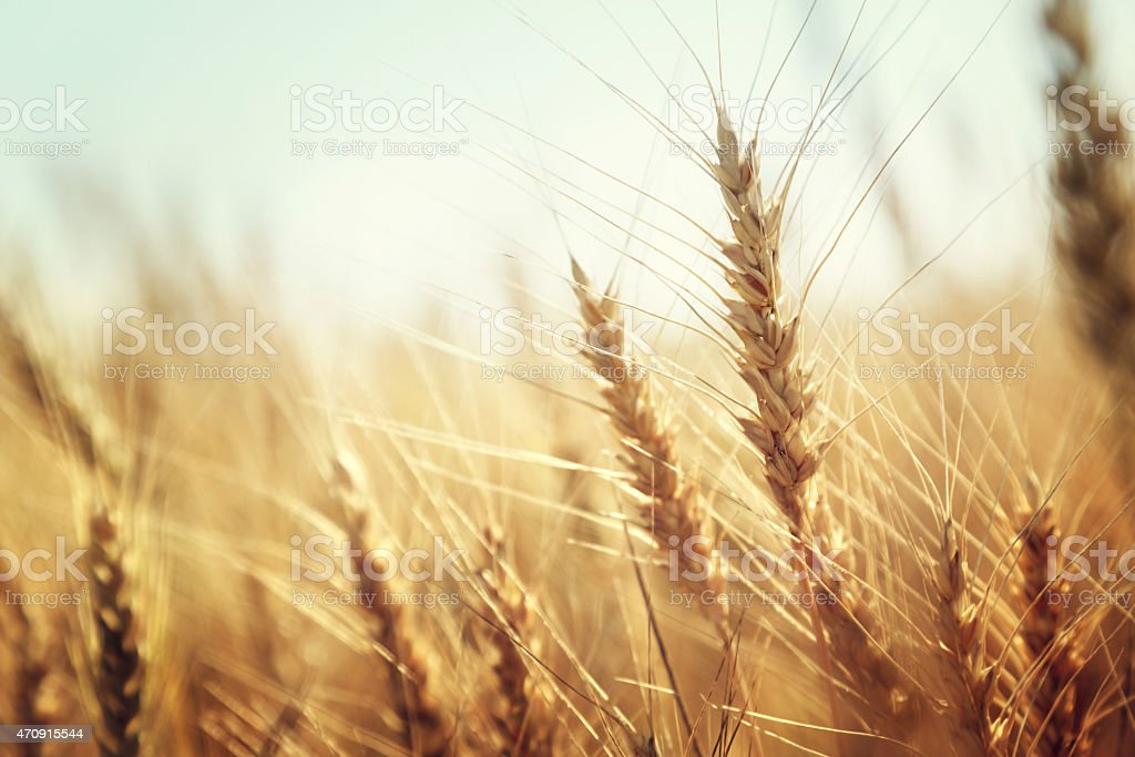 Close up of golden heads of wheat stock photo