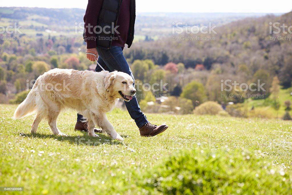 Close Up Of Golden Retriever On Walk In Countryside stock photo