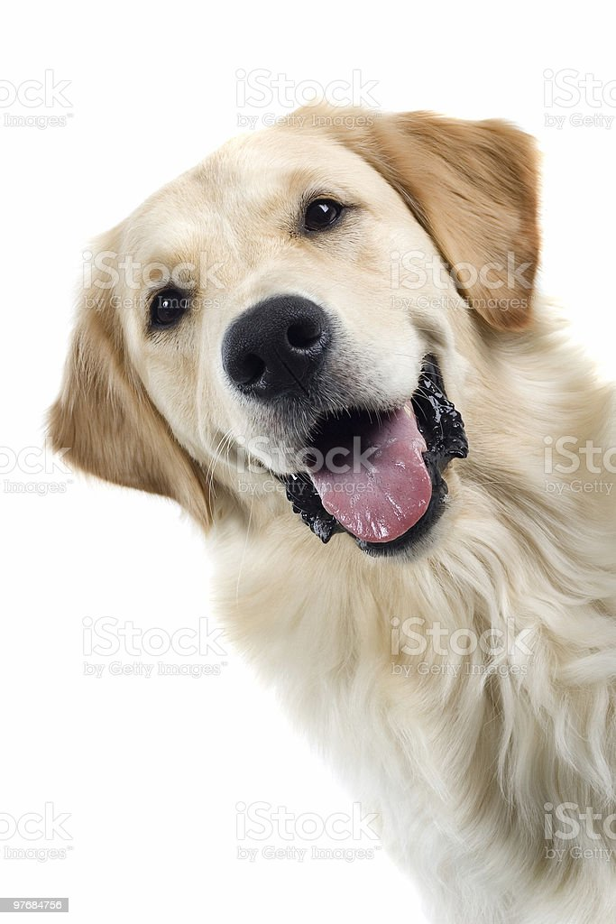 Close up of golden retriever with tongue hanging out mouth stock photo