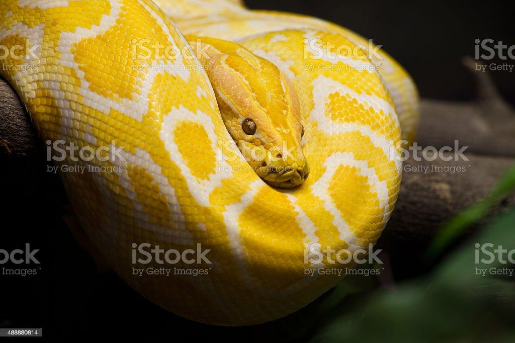 Close up of Golden Thai Python, focus at eyes stock photo