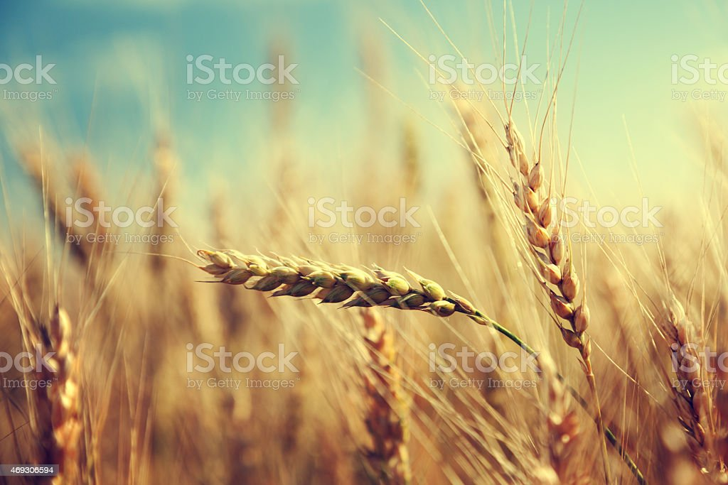 Close up of golden wheat on a sunny day stock photo