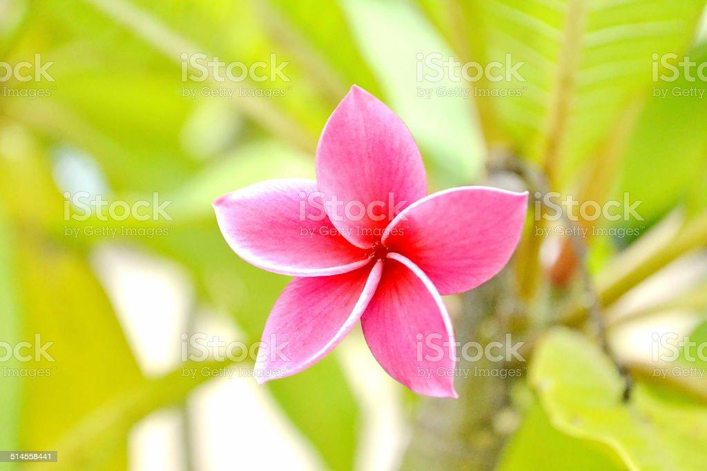Close up of gorgeous tropical Frangipani flowers stock photo