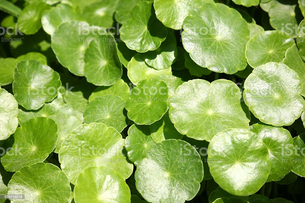 Close up of Gotu kola tree stock photo