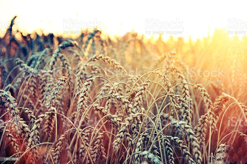 Close up of grain plantation field stock photo