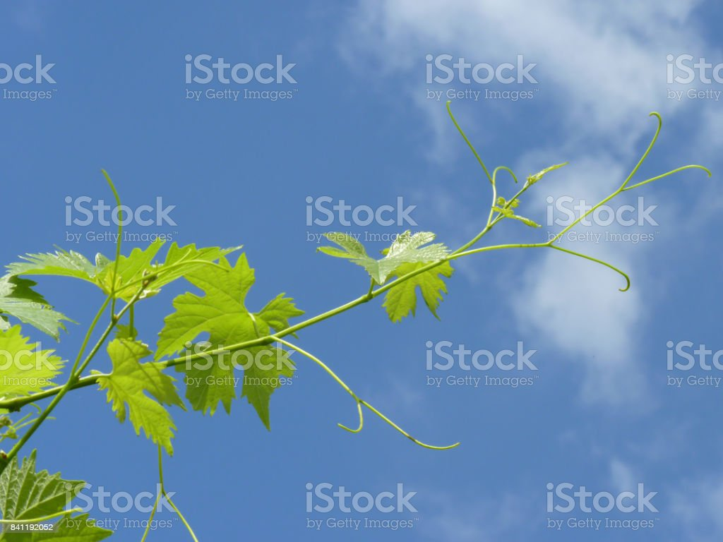 Close Up of Grape Vine Branch stock photo