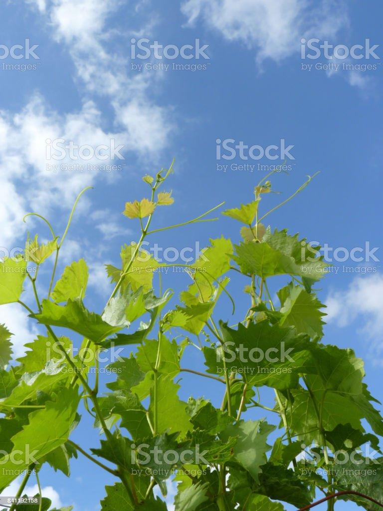 Close Up of Grape Vine Branches stock photo