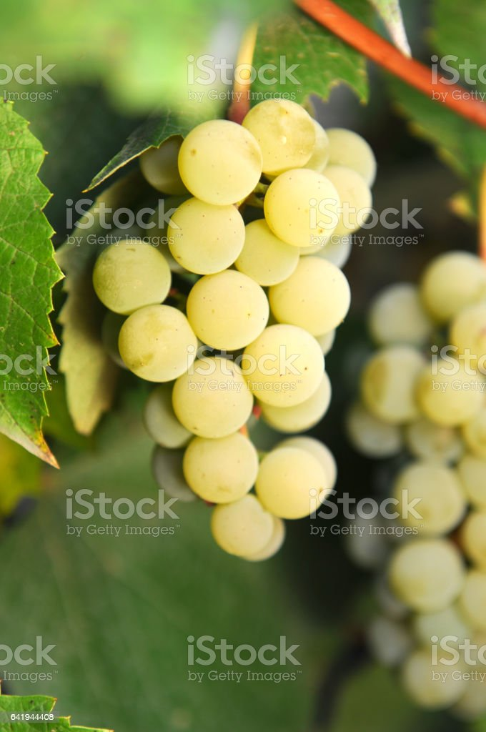 Close up of grapes and autumn vines stock photo