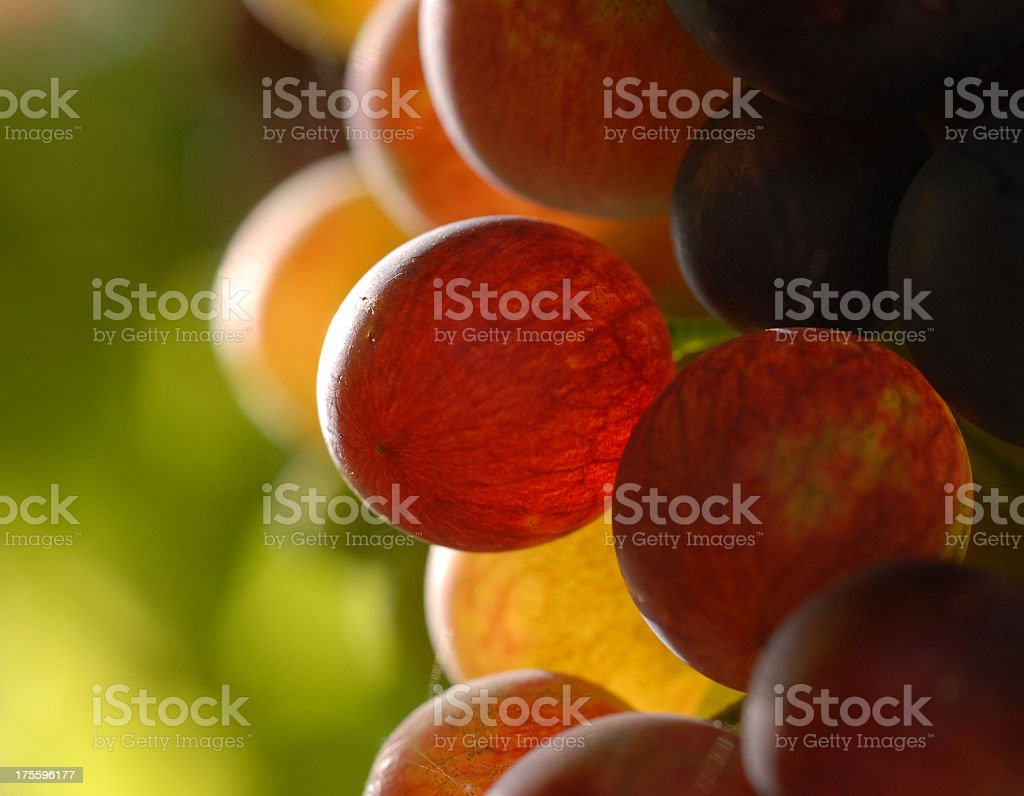 Close up of grapes on green vines stock photo