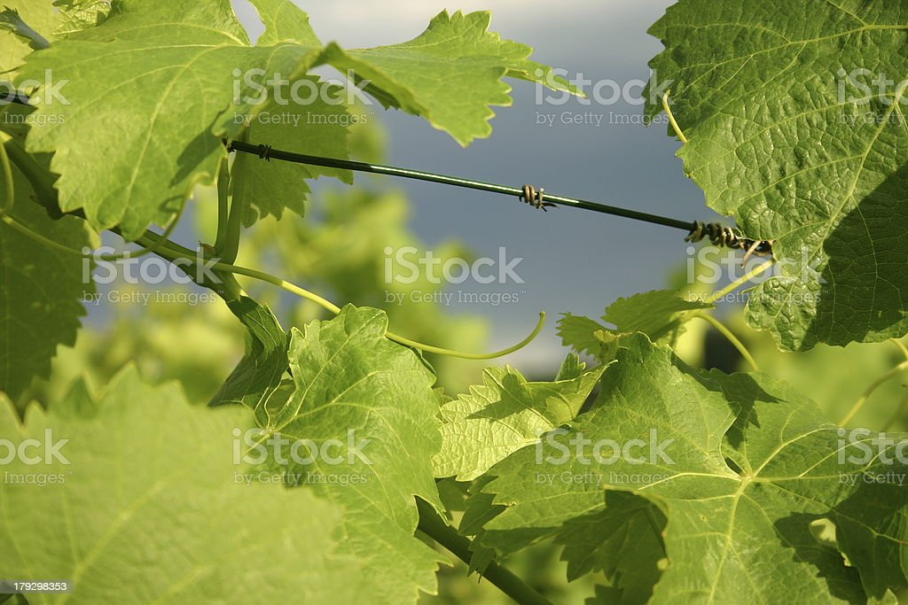 Close up of grapevine royalty-free stock photo