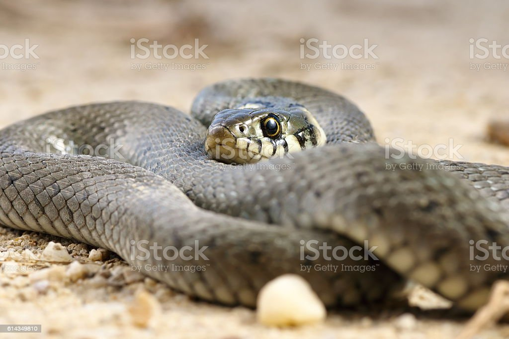close up of grass snake stock photo
