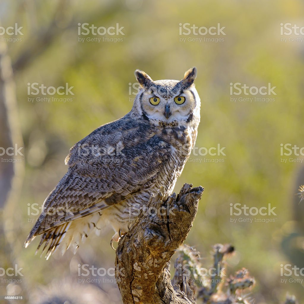 Close up of Great Horned Owl in nature stock photo