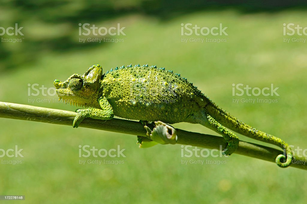 Close up of green chameleon on stem stock photo