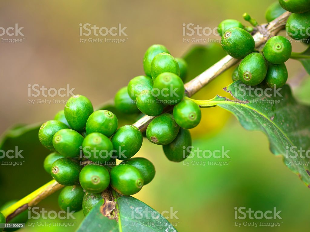 Close up of green coffee beans growing on plant stock photo