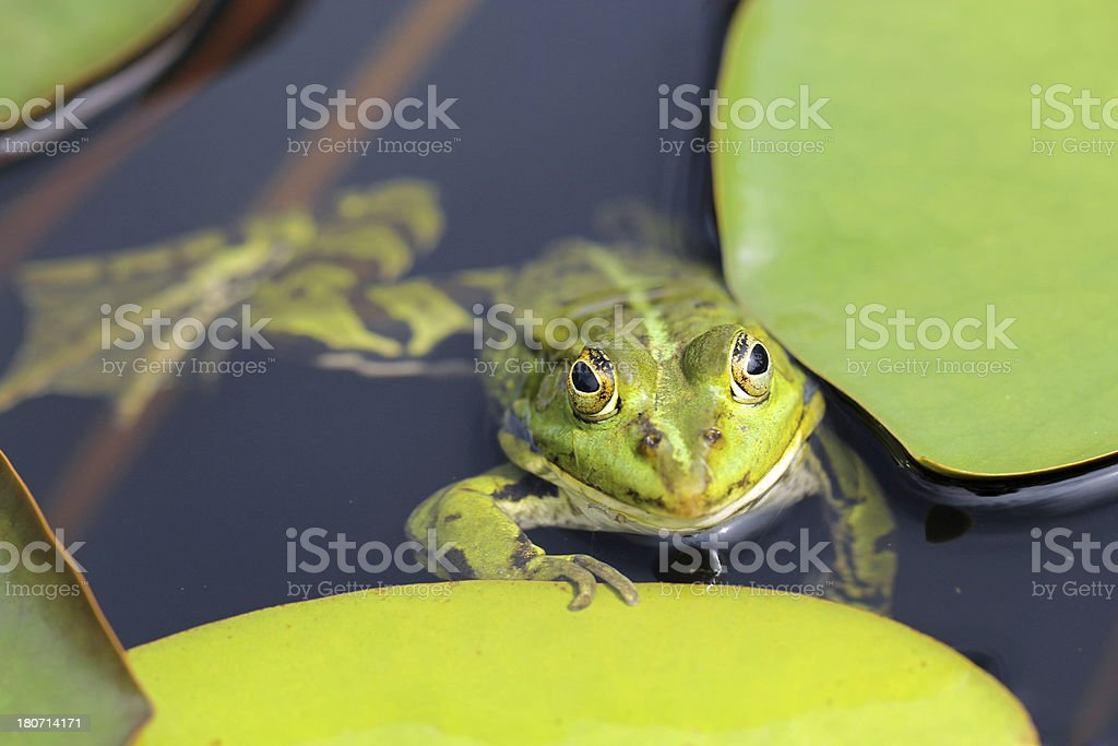 Close up of green frog in pond royalty-free stock photo