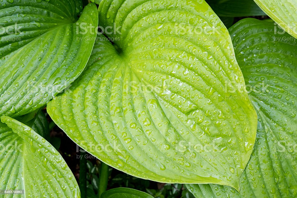 Close Up of Green Hosta Leaves With Raindrops stock photo