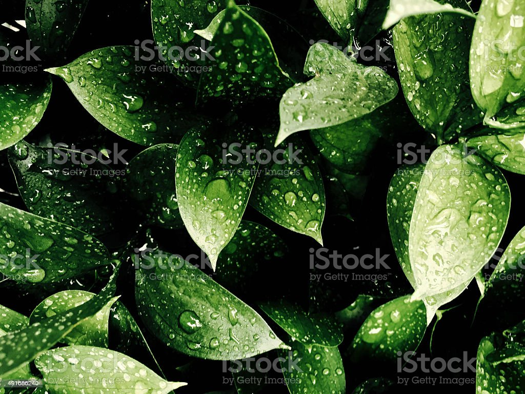 Close up of green leaves with rain stock photo