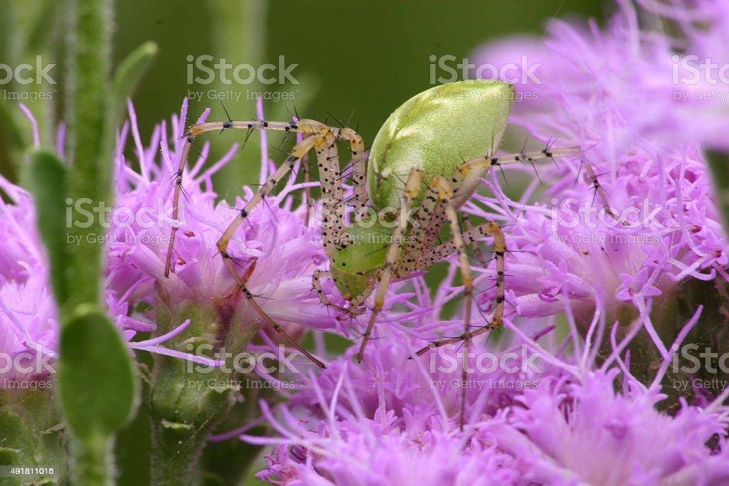 Gros plan d'Araignée lynx verte photo libre de droits