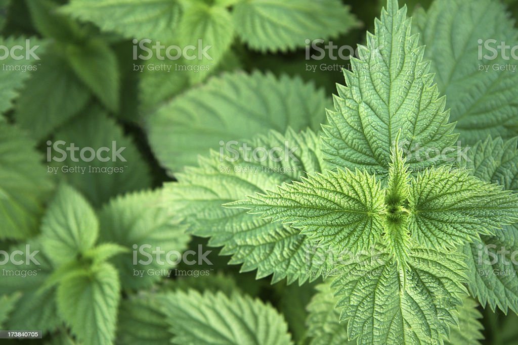A close up of green nettle leaves stock photo