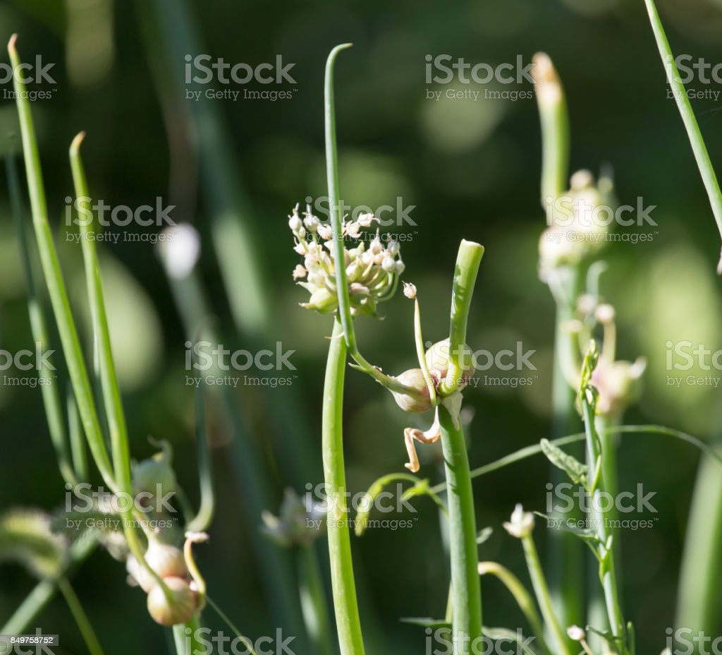 close up of green onion head blooming at field stock photo