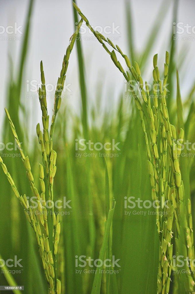close up of green paddy rice royalty-free stock photo