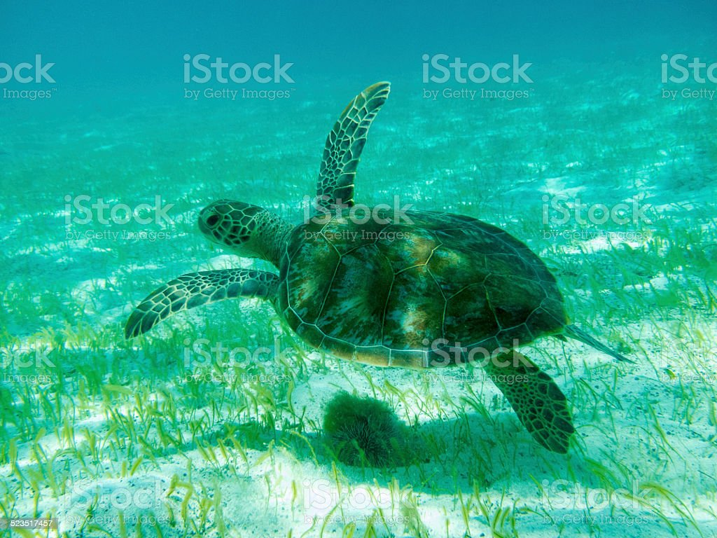 Close up  of Green Sea Turtle (Chelonia mydas) Swimming. stock photo