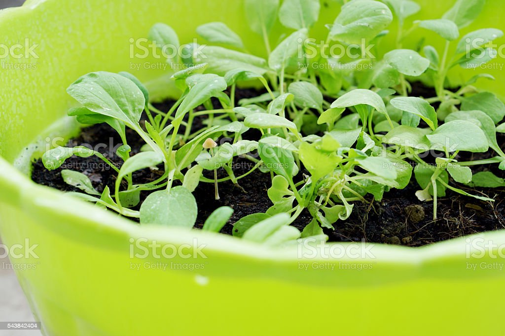 Close up of  green Vegetable in plastic plot stock photo