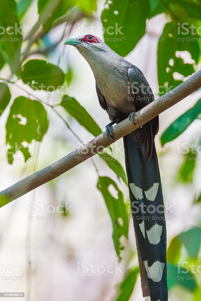 Close up of  Green-billed Malkoha stock photo