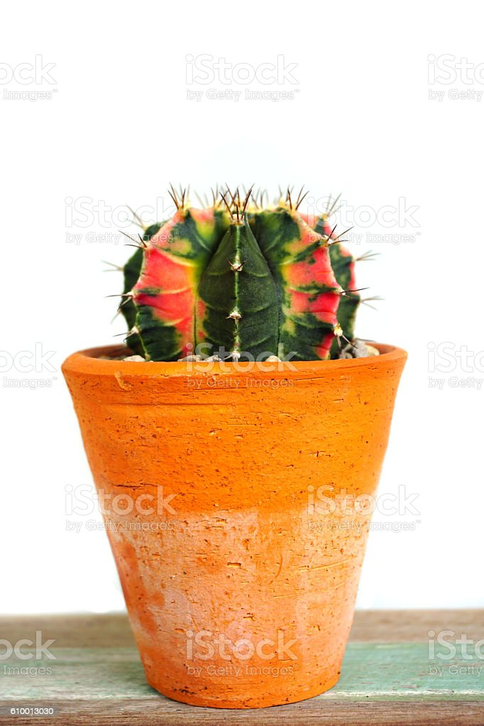Close up of Gymno variegata cactus in a pot. stock photo
