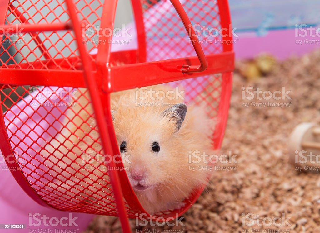 Close up of Hamster stock photo