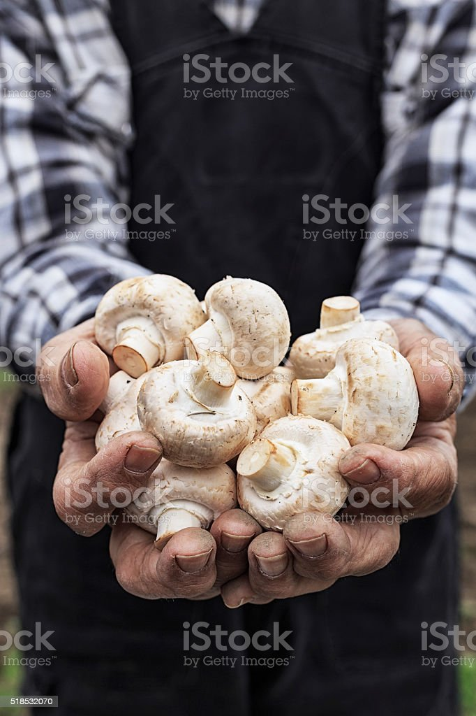 Close up of hands cupped holding white mushrooms-vertical stock photo