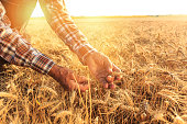 Close up of hands examining wheat growth