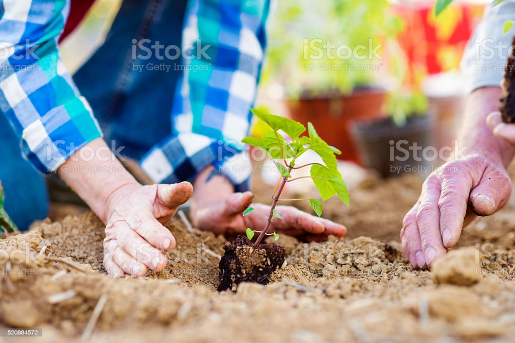 Close up of hands, senior couple planting little seedling stock photo
