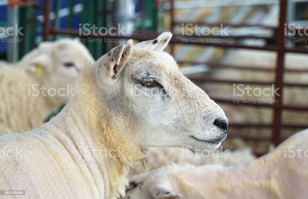 Close Up of Head of Shorn Sheep in Shearing Pen stock photo