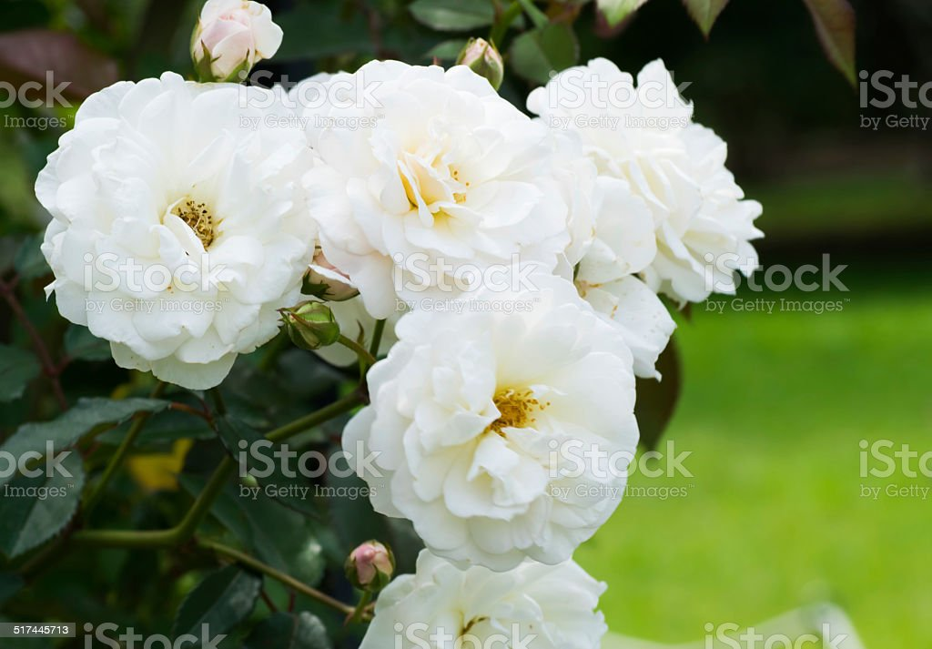 Close up of historical white Rose, Prosperity, England 1919 stock photo