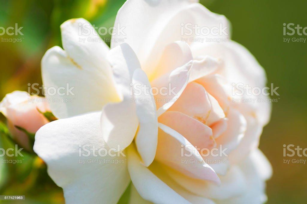 Close up of historical white Rose, Prosperity stock photo