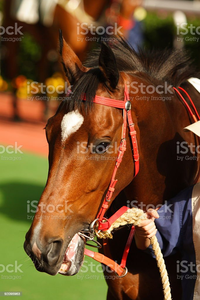 Close up of Horse head royalty-free stock photo