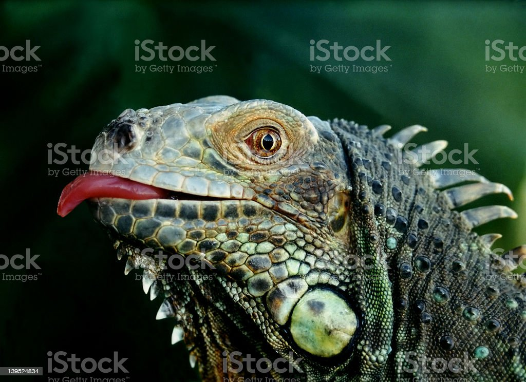 Close up of iguana head with tongue sticking out royalty-free stock photo