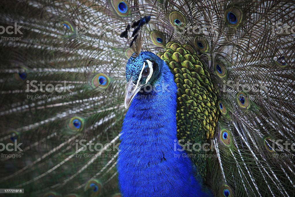 close up of indian peacock royalty-free stock photo