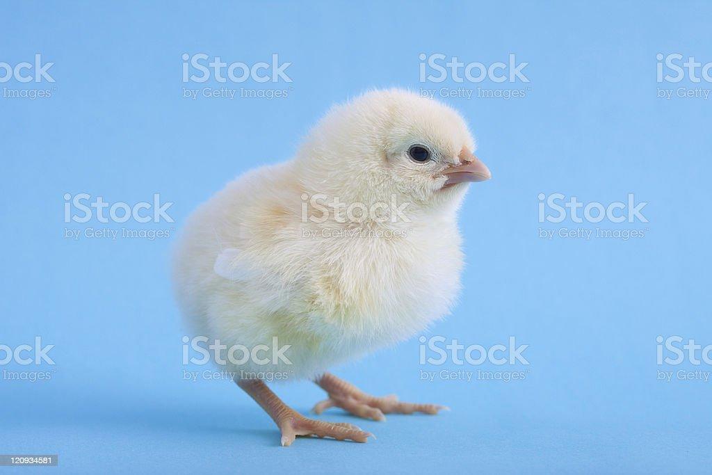 Nahaufnahme von isolierten Baby gelbe Huhn auf Blau – Foto