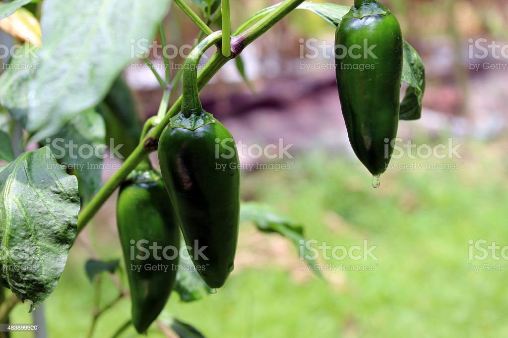 Close Up of Jalapeno Pepper Plant after Rain stock photo