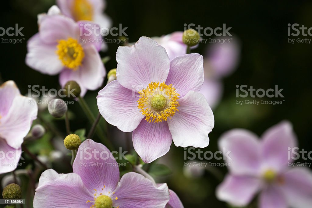 Close up of Japanese Anemone Flowers. royalty-free stock photo
