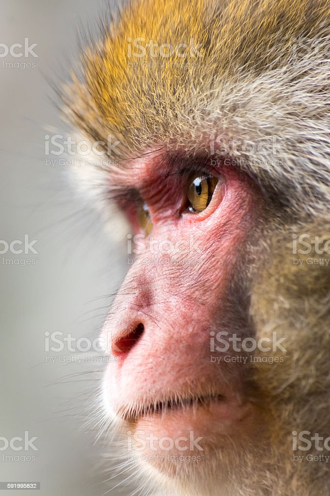 Close Up of Japanese Macaque (Snow Monkey) stock photo