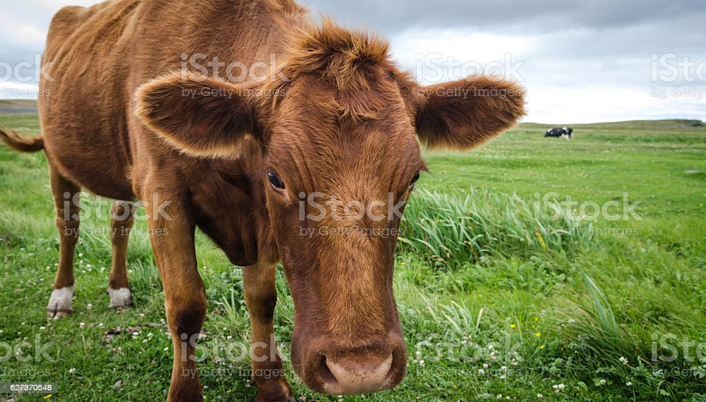Close up of Jersey cow in grass with head lowered. stock photo