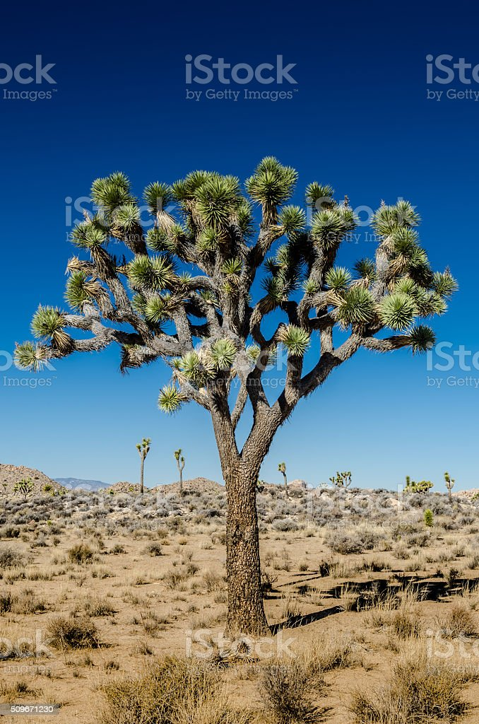 Close Up of Joshua Tree on Clear Day stock photo