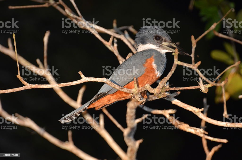Close Up of Kingfisher on Night Tour royalty-free stock photo