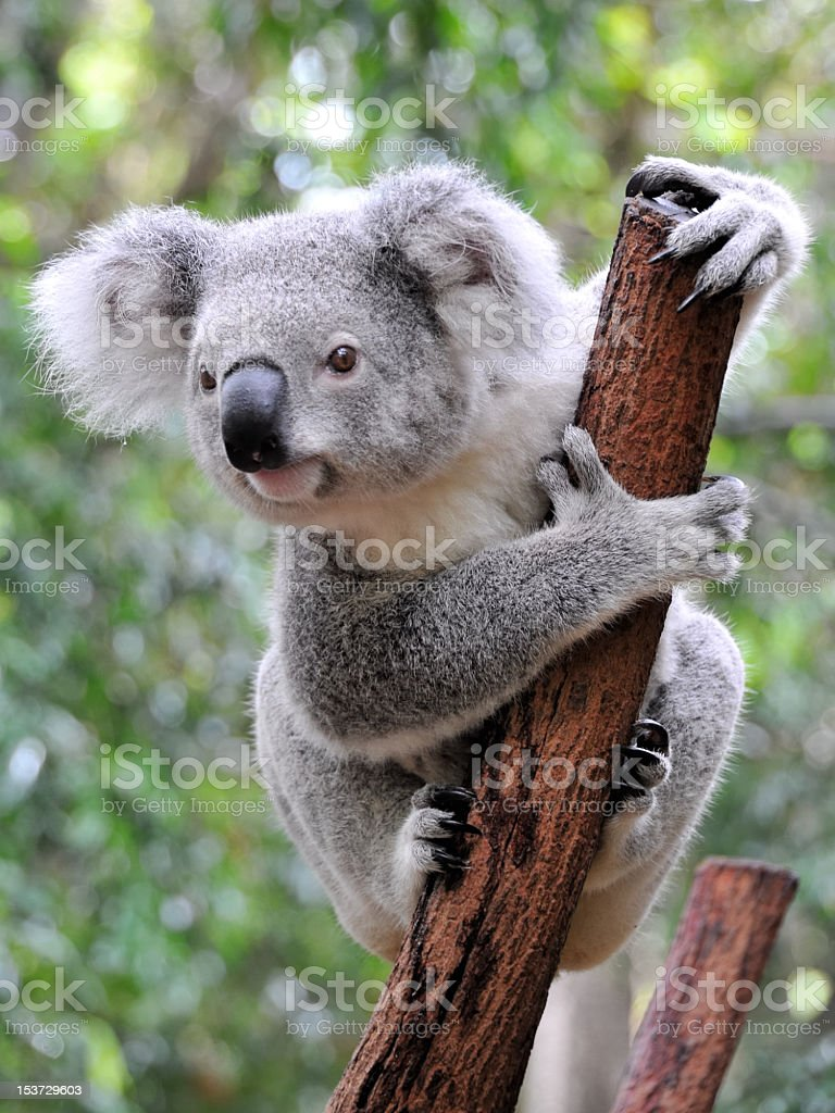 Close up of koala at sanctuary in Australia stock photo