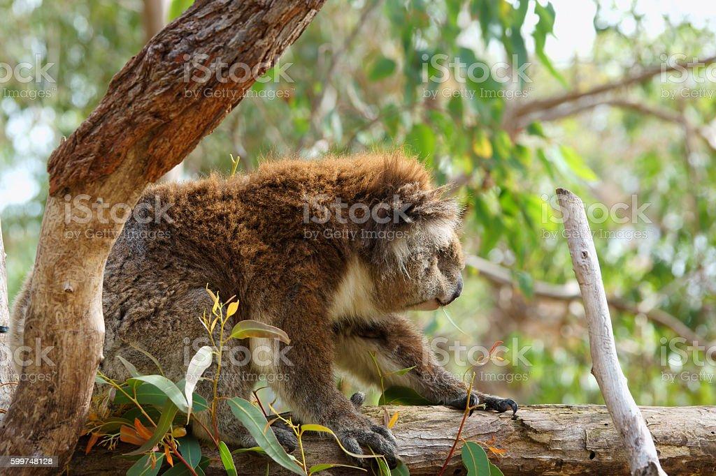 Close up of koala stock photo