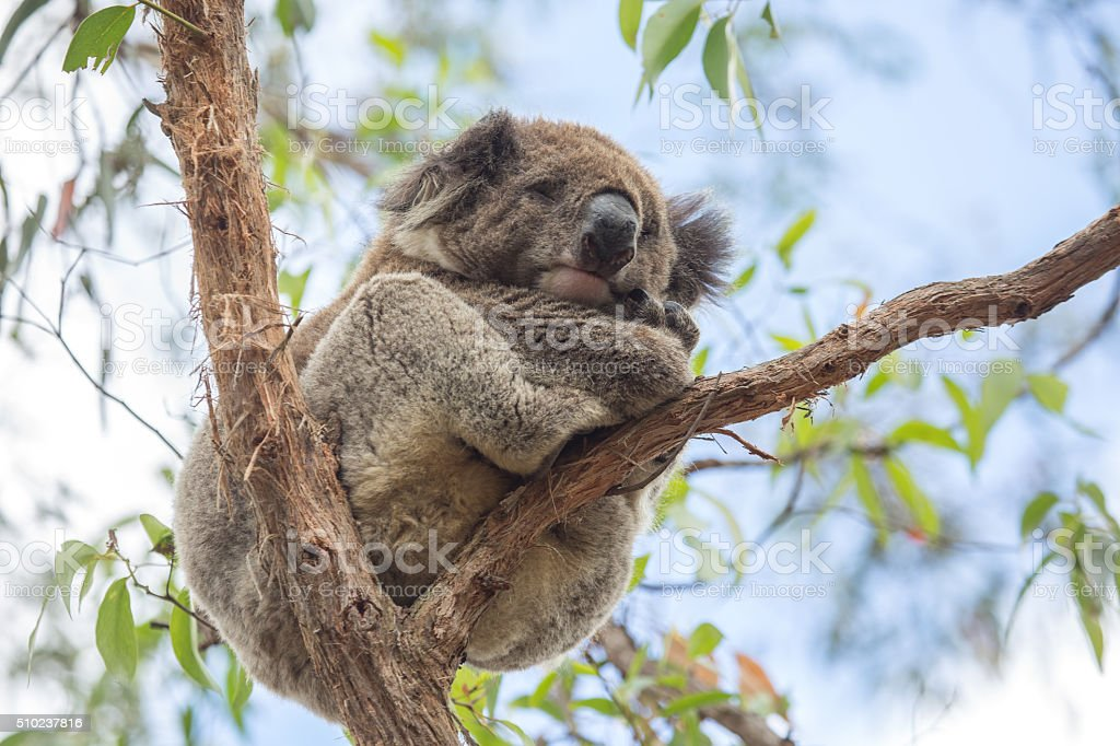 Close up of Koala sleeping in eucalyptus tree in Australia stock photo