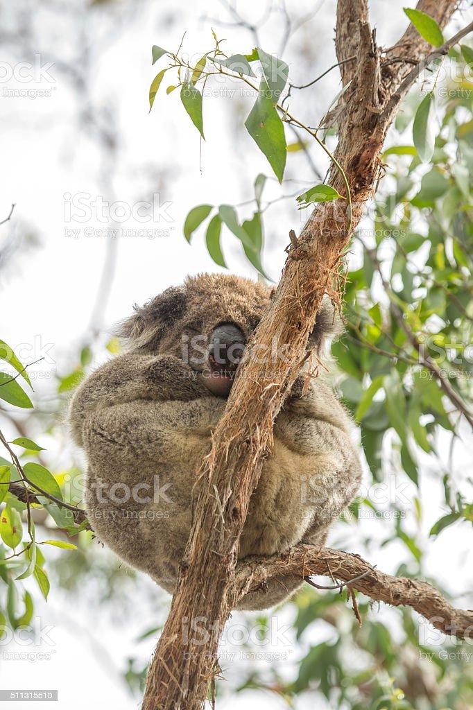 Close up of Koala sleeping in eucalyptus tree in Australia stock photo